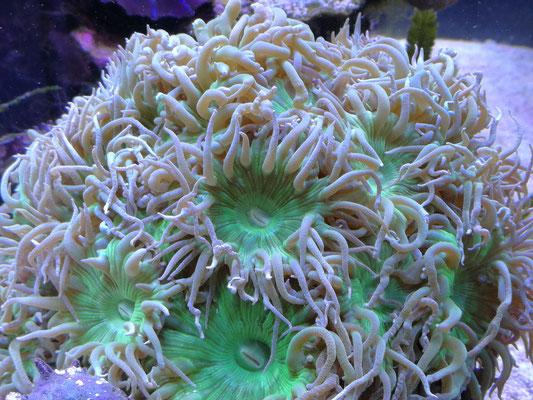 Duncanopsammia axifuga - Bartkoralle (23.12.15)