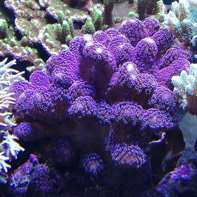 Stylophora pistillata - Griffelkoralle oder Milkakoralle (02.07.16)