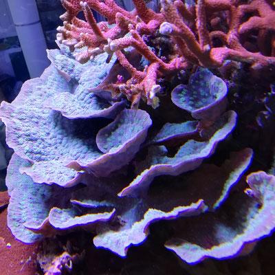 Echinopora lamellosa LPS (02.07.15)