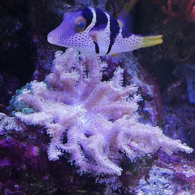 Canthigaster valentini - Spitzkopfkugelfisch (14.02.20)