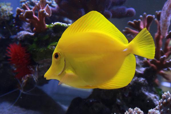 Zebrasoma flavescens - Zitronenflossen Doktorfisch (21.05.17)