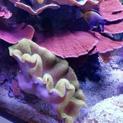 Sarcopyhton sp 7 - Tyree Neon Green Toadstool (29.11.15)
