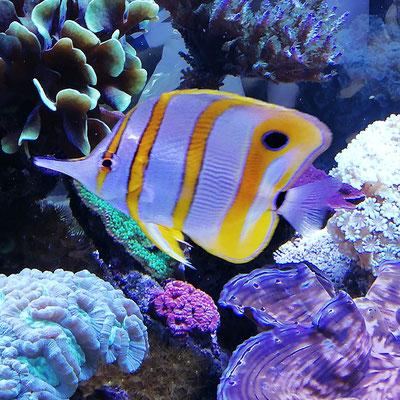 Chelmon rostratus - Orangebinden Pinzettfisch (29.09.19)