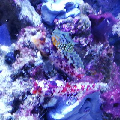 Synchiropus stellatus - Leierfisch Paar  (08.02.20)