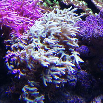 Seriatopora hystrix Grün - Christusdorn-Koralle (03.08.19)
