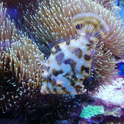 Acreichthys tomentosus - Seegras- oder Tangfeilenfisch (06.11.16)