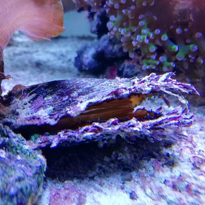 Pinctada margaritifera - Schwarzlippige Perlmuschel  /echte Perlmuschel (Q2 19)