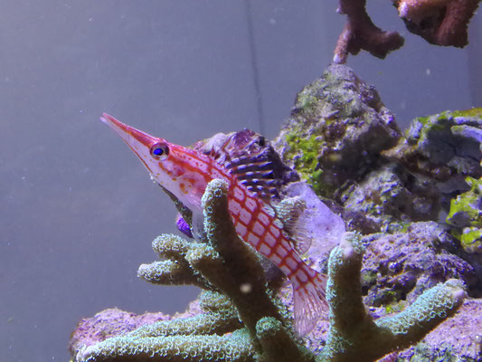 Oxycirrhites typus - Langschnäuziger Korallenwächter (18.11.17)