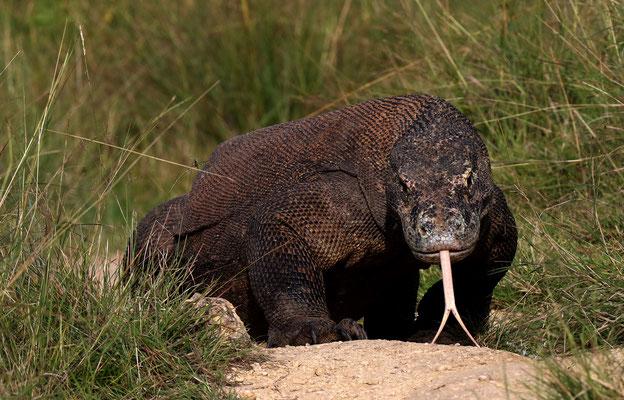 Komodowarane sind die größten Echsen der Welt. Sie werden bis zu drei Meter lang und wiegen bis zu 80kg