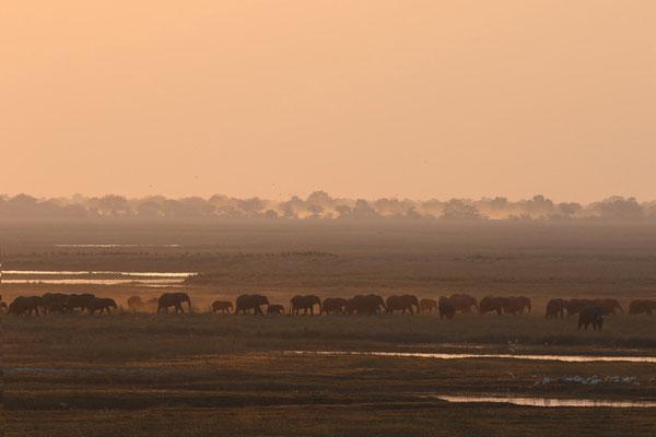 Elefantenherde in der Morgendämmerung im Chobe-Nationalpark - Botswana