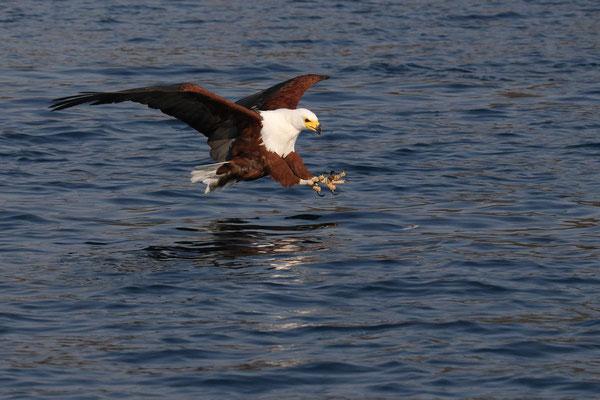 Afrikanischer Seeadler - Malawisee - Malawi Flügelspannweite bis 2,5 Meter