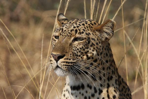 Afrikanischer Leopard im Luangwa-Nationalpark - Sambia