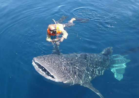 Schnorcheln mit Walhaien an der Küste von Neuguinea nahe Nabire - Länge bis zu 14 Meter, Gewicht bis zu 12 Tonnen