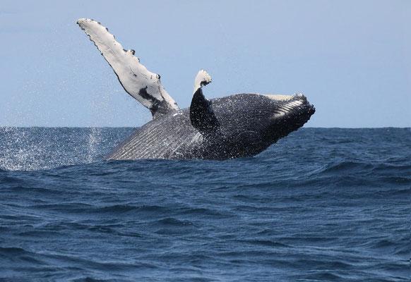 Buckelwal nahe Tofo im Süden von Mosambik -max. Gewicht 30 Tonnen