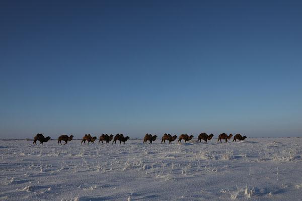 Kamelkarawane am Aral-See bei minus 30°C - Kasachstan