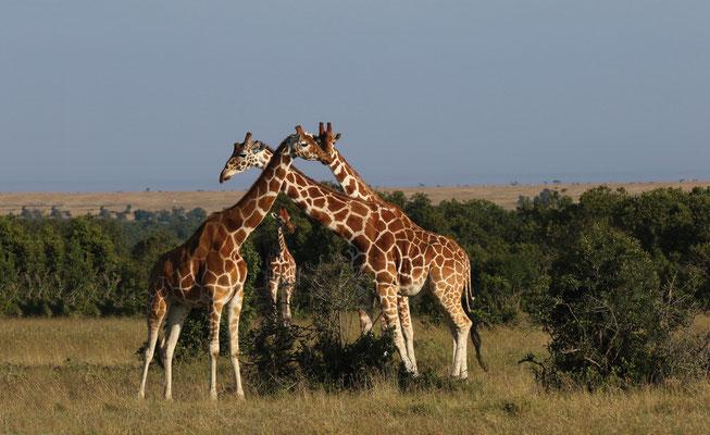 Giraffen-Familie im Luangwa-Nationalpark - Sambia bis zu 6 Meter Höhe
