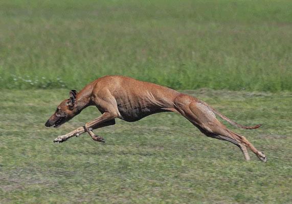 Bláithín Beog Coursing