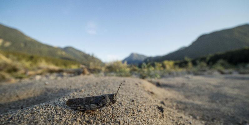 Weibchen von Bryodemella tuberculata (Gefleckte Schnarrschrecke)