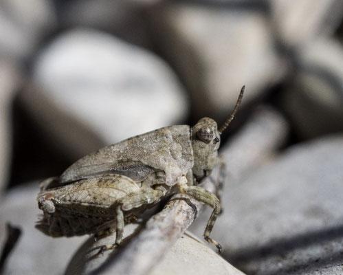 Nymphe von Tetrix tuerki (Türks Dornschrecke), charakteristisch ist hier der an der Unterseite deutlich gewellte Mittelschenkel
