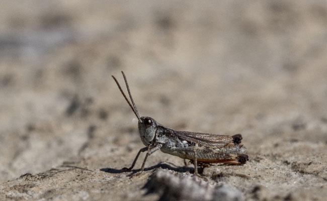 Adultes Männchen von Chorthippus pullus (Kiesbank-Grashüpfer)