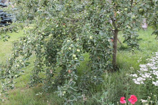 Der Apfelbaum dankt es