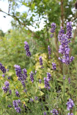 Lavendel im Kräuterbeet