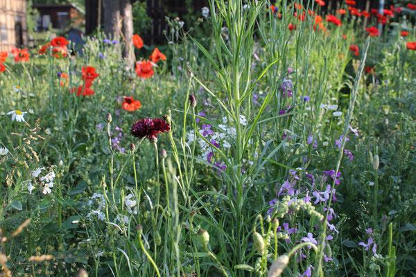 Angelegte Wildblumenwiese