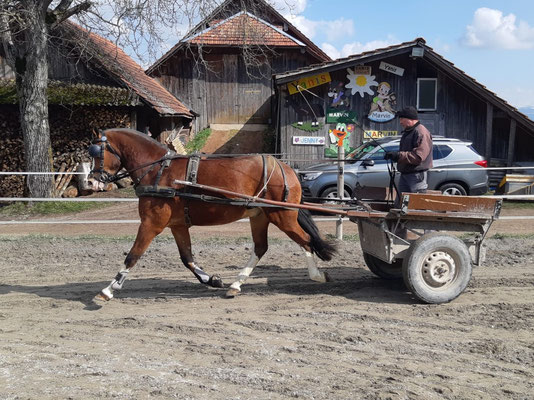 Nabuco vom Cherhof am 19.03.2021 - das erste Mal am Wagen