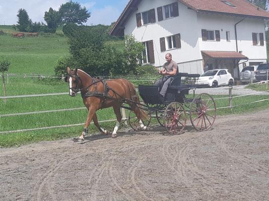 Verkaufspferd Lysia