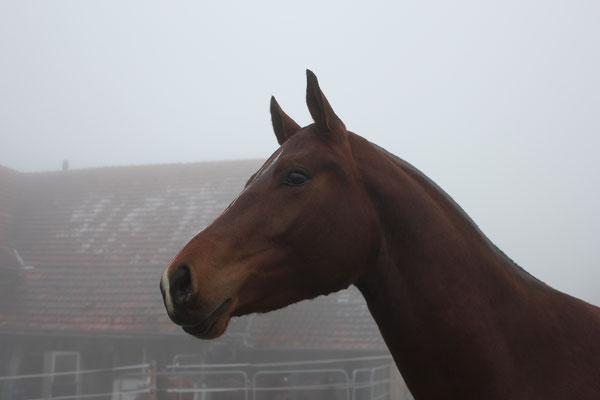 Macht auch im Nebel eine tolle Figur: Don Descara vom Sagenhof - Foto: Jenny Commons