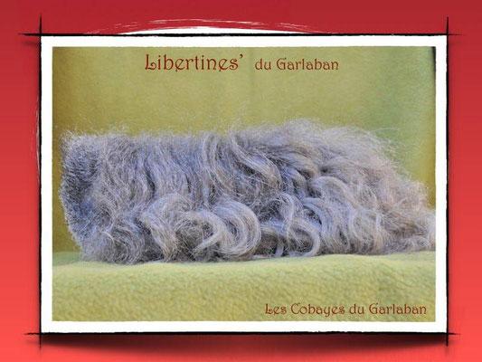 Libertines', texel agoutie argentée, a obtenu 95,5/100