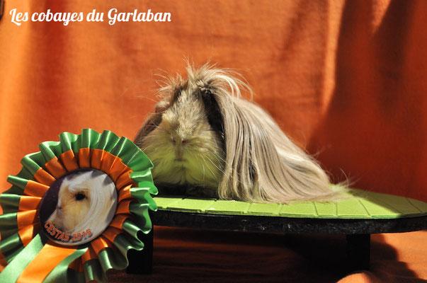 Flora, péruvienne agoutie grise et crème, a obtenu 94/100 & a été classée meilleure femelle péruvien