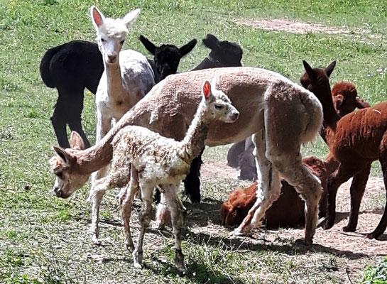 Jackos Barcardi 45 Minuten nach der Geburt steht und läuft der kleine Hengst