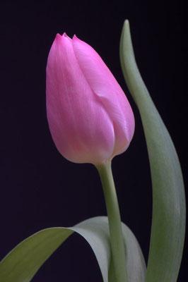 Pinke Tulpe1 - 3:2