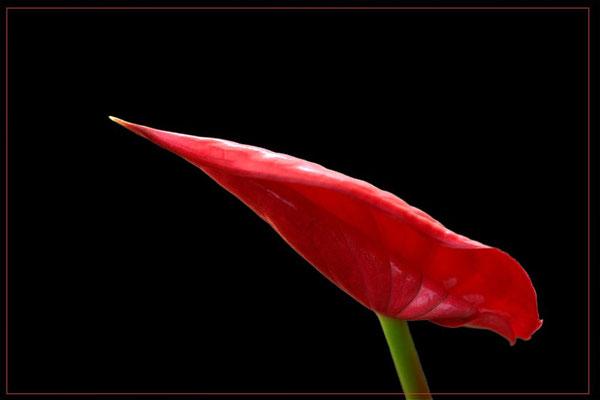 Peperoni Blume