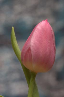 Pinke Tulpe3 - 3:2