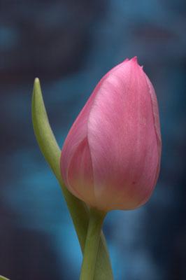 Pinke Tulpe2 - 3:2