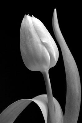 Tulpe Schwarz weiss - 3:2