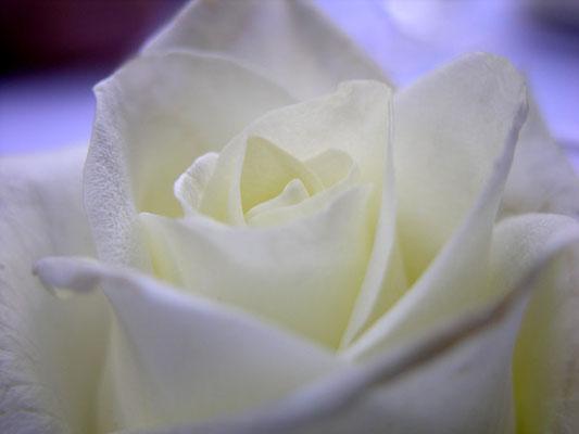 weisse Rose - 4:3