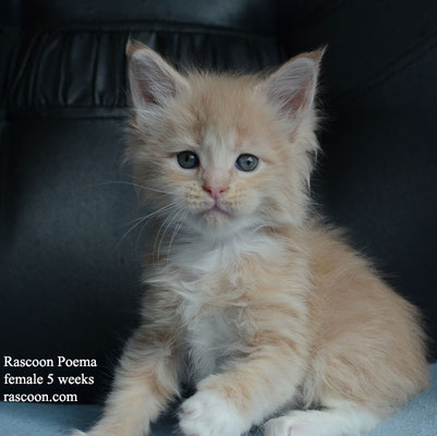 Rascoon Poema female 5 weeks