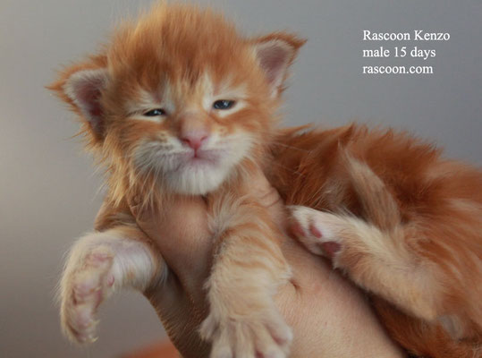 Rascoon Kenzo male 15 days