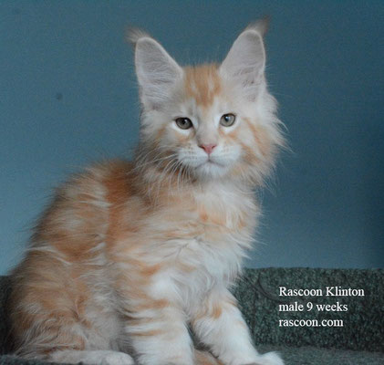 Rascoon Klinton male 9 weeks