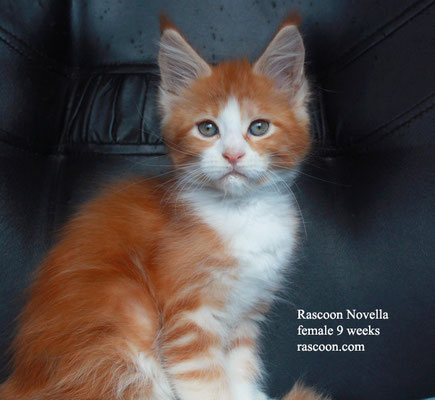 Rascoon Novella female 9 weeks