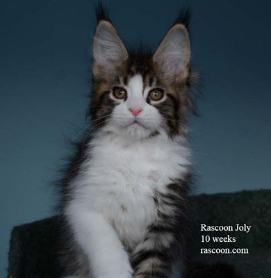Rascoon Joly 10 weeks