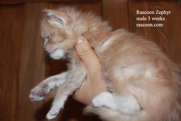 Rascoon Zephyr male 3 weeks