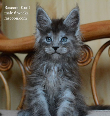 Rascoon Kraft 6 weeks
