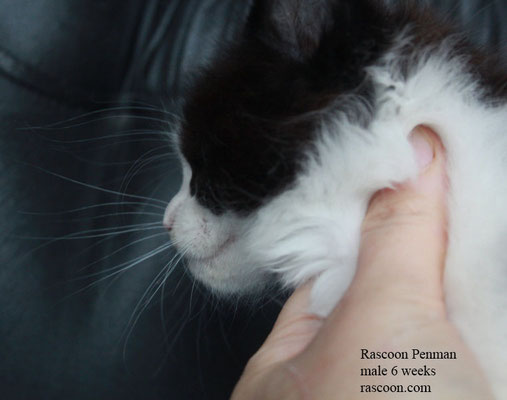 Rascoon Penman male 6 weeks