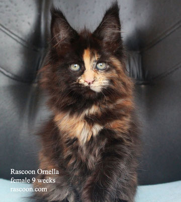 Rascoon Ornella female 9 weeks