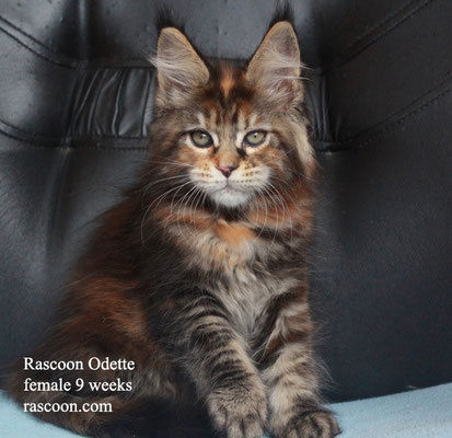 Rascoon Odette female 9 weeks