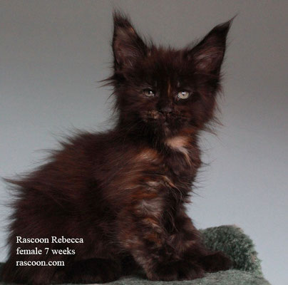 Rascoon Rebecca female 7 weeks